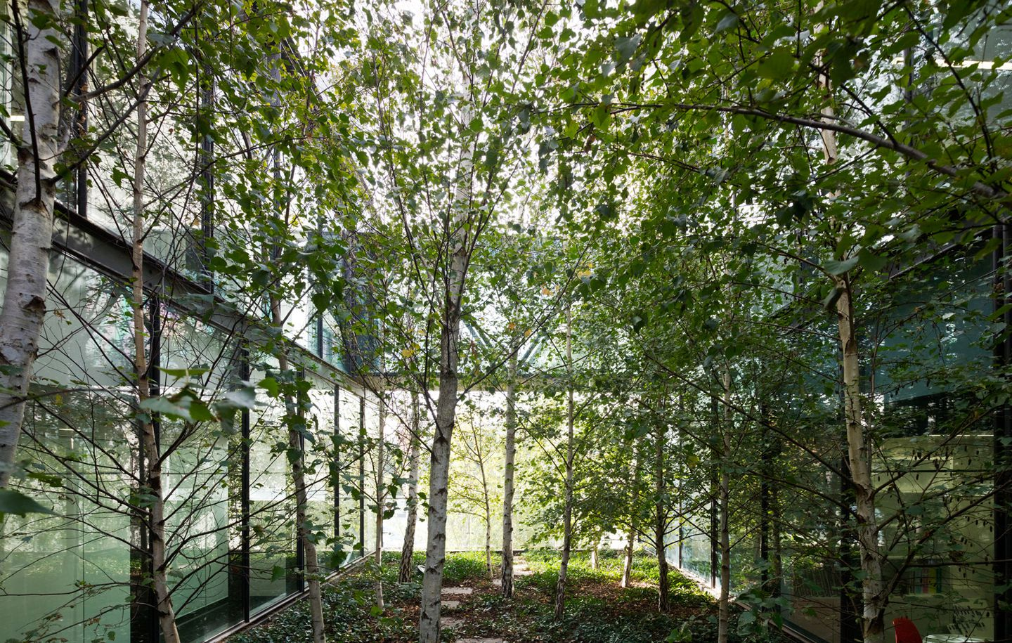 Central courtyard garden with Birch trees in an office building in Melbourne Victoria designed by Durbach Block Jaggers Architects